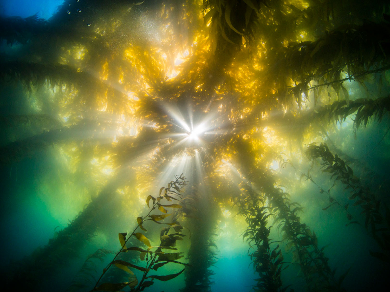 kelp-canopy.jpg