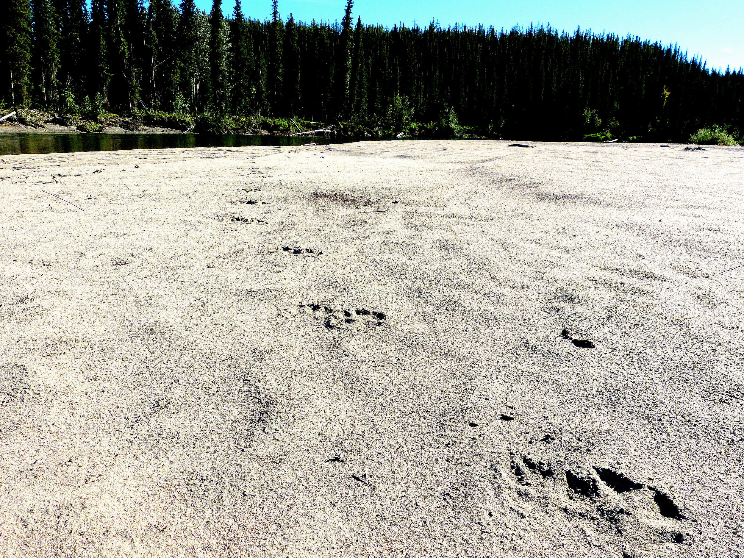 Few things speak more clearly of wildness than wolf tracks on a Nisutlin River sandbar
