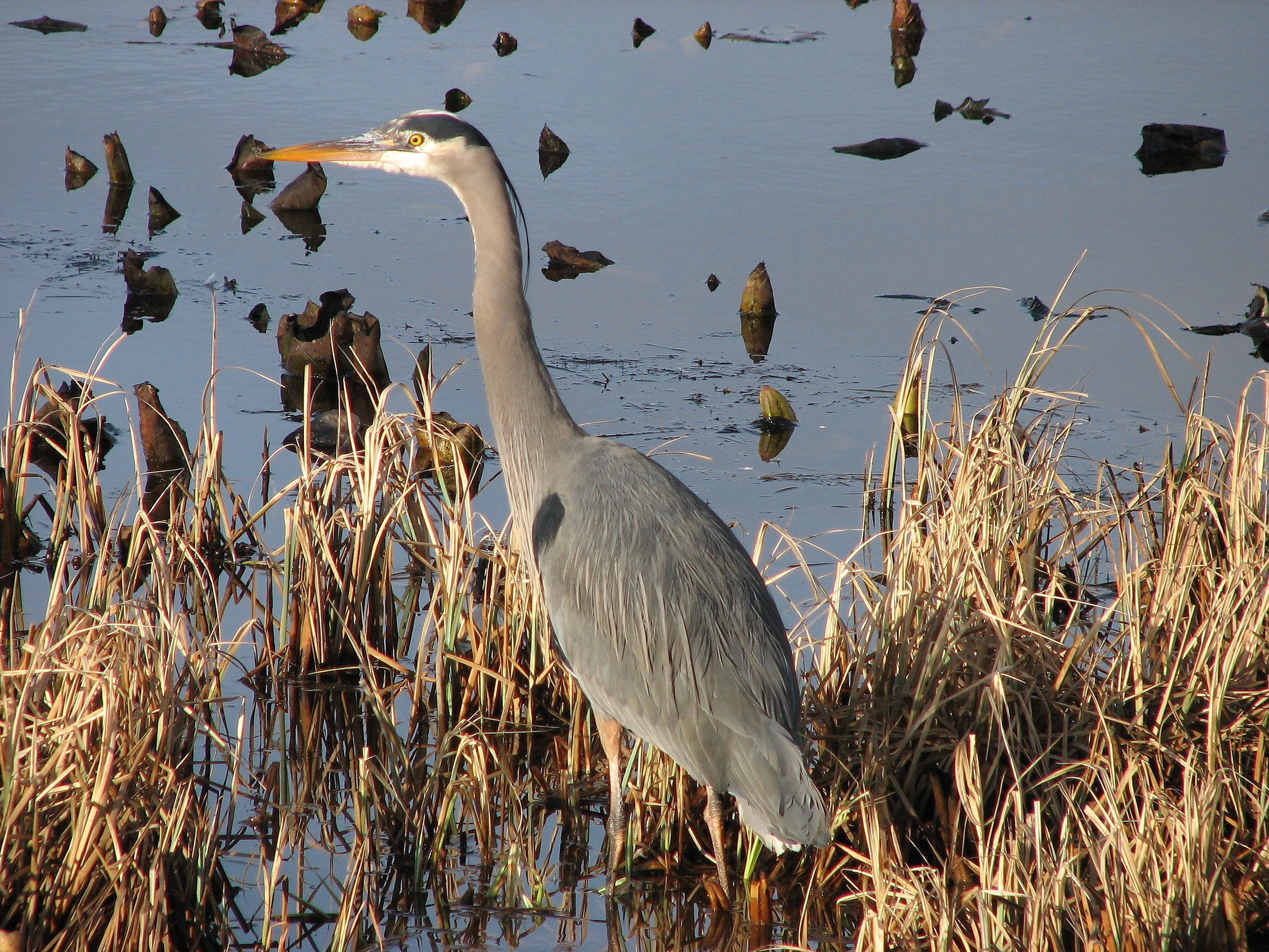 Great blue heron hunting for small fish. Photo credit: Richard Nelson.