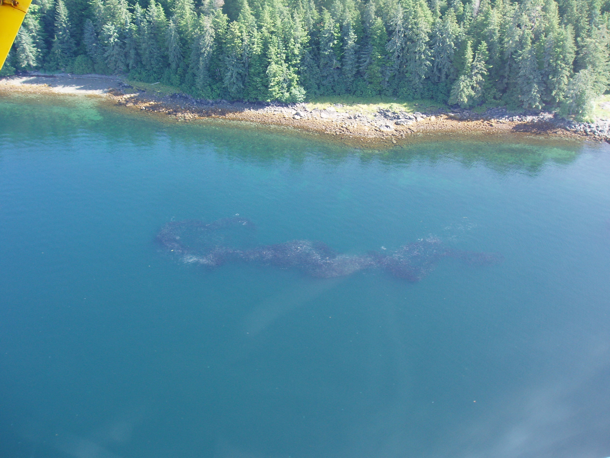 Thousands of adult pink salmon in Starrigavin Bay, heading for the estuary. Photo credit: ADF&G.