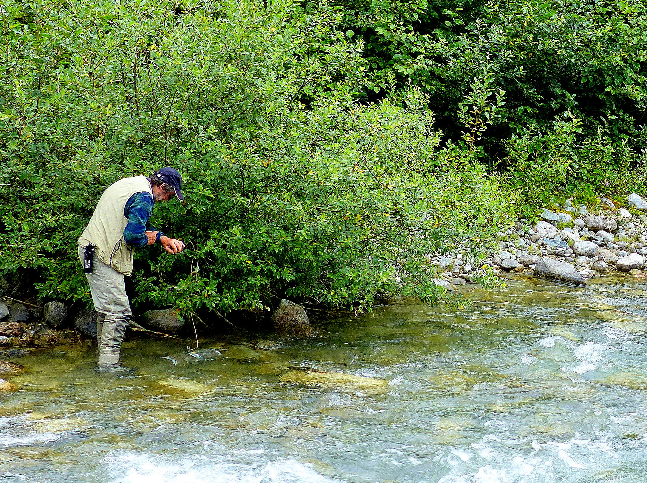 Dr. Sandy Milner, sets a trap to catch young salmon for his research on streams in Glacier Bay National Park.