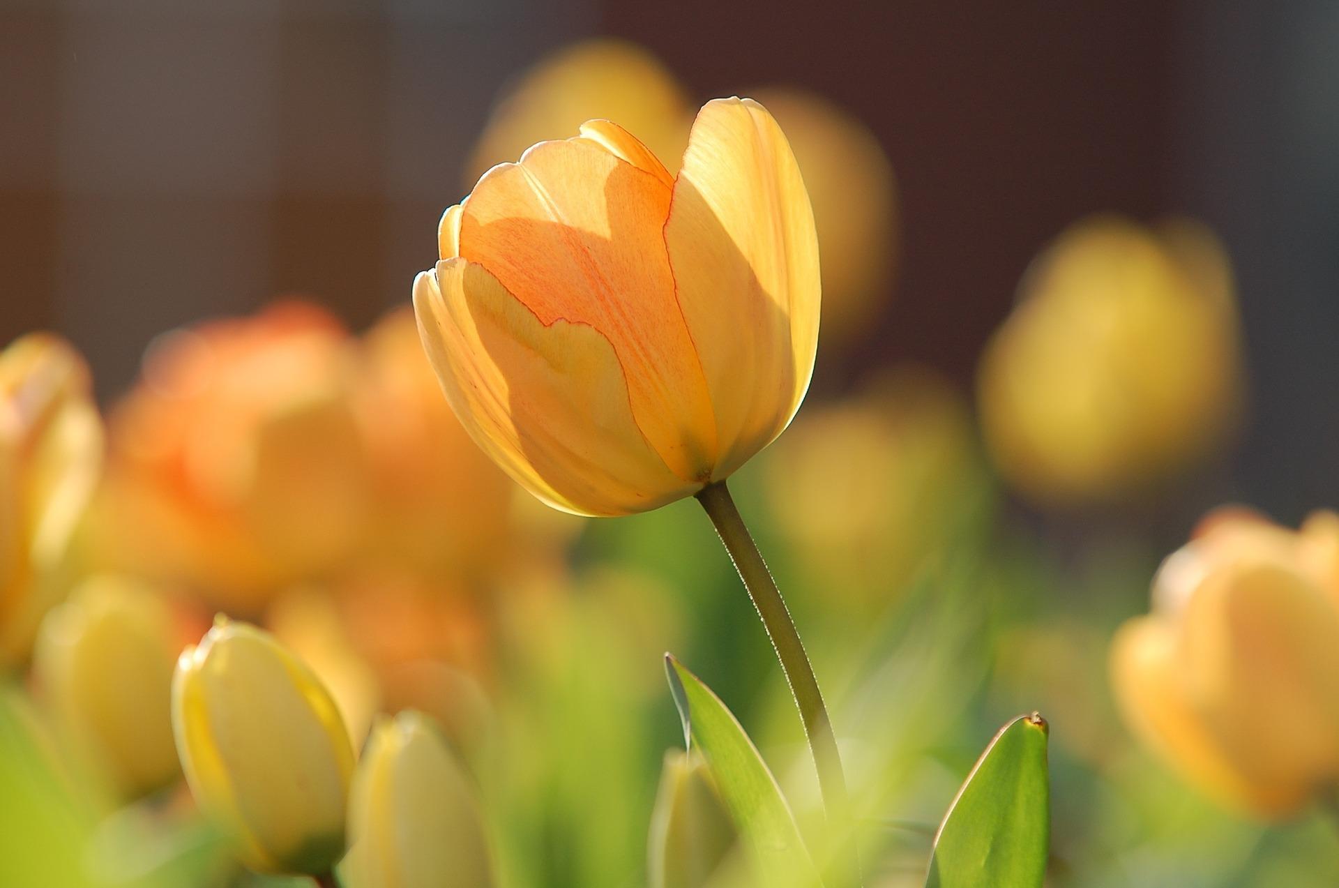 """Tulip Yellow Bright"" by Unsplash via Pixabay (Public Domain)"