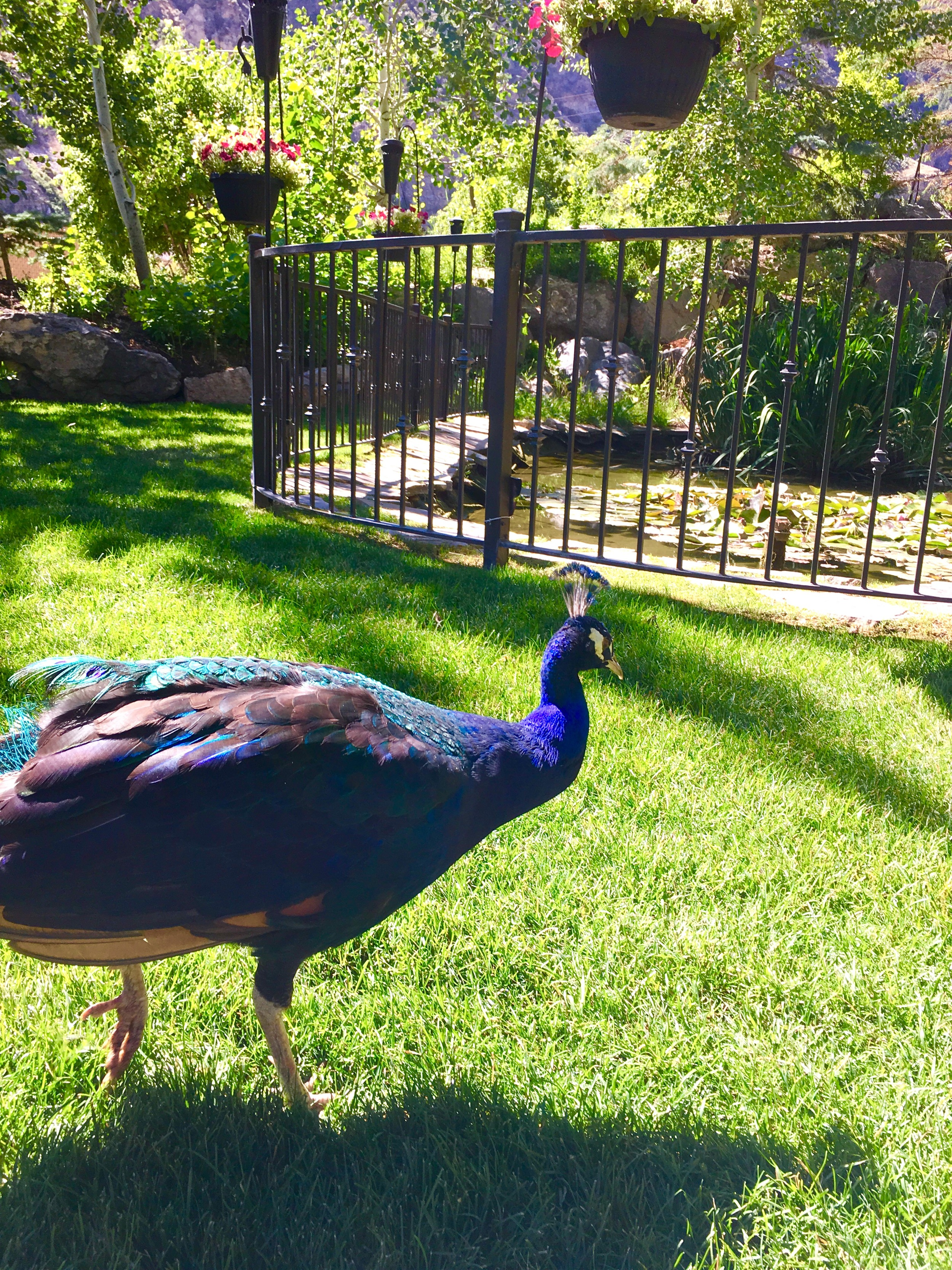 Princeton the Peacock