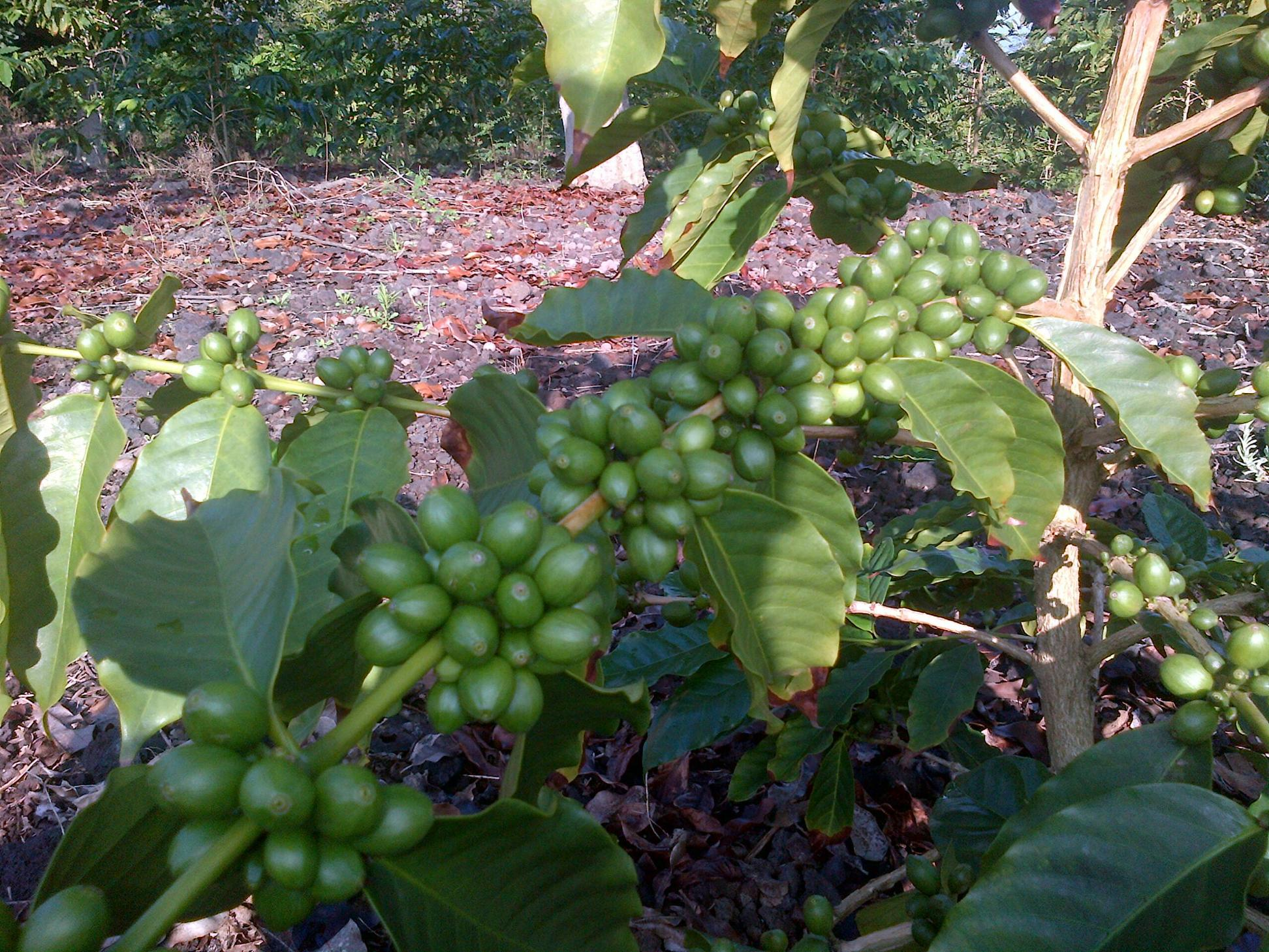 Coffee fruits growing until they ripen (turn red).