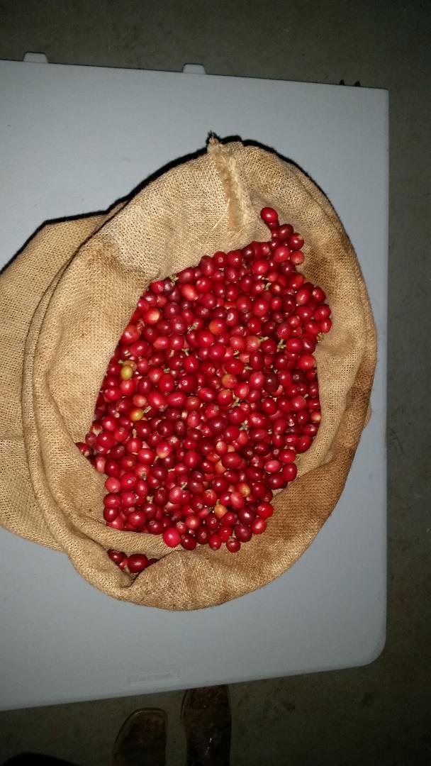 thumbnailI4ZWT5D2-red cherries sac 1.jpg