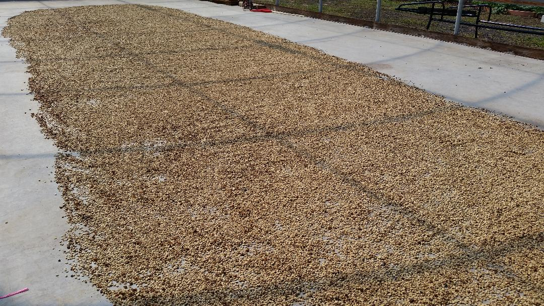 "Coffee ""parchment"" drying under the sun."