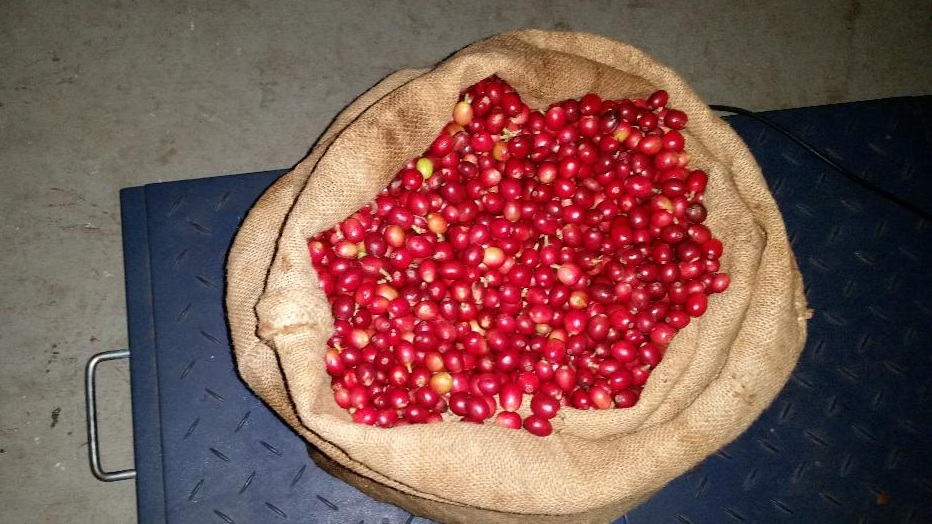 The harvested cherries, ready to be processed.