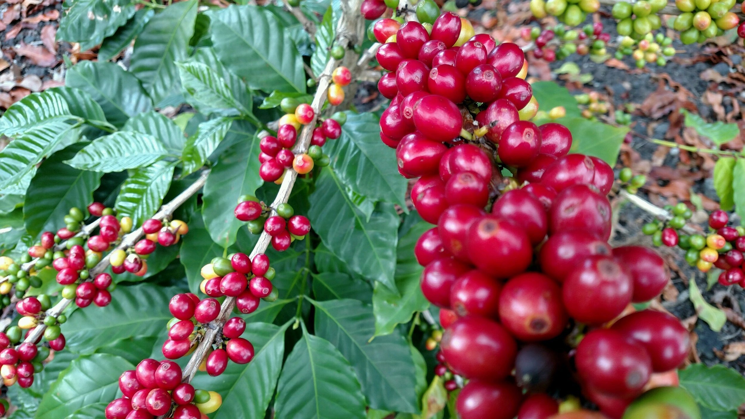 output 1_coffee branch w ripe cherries.jpg