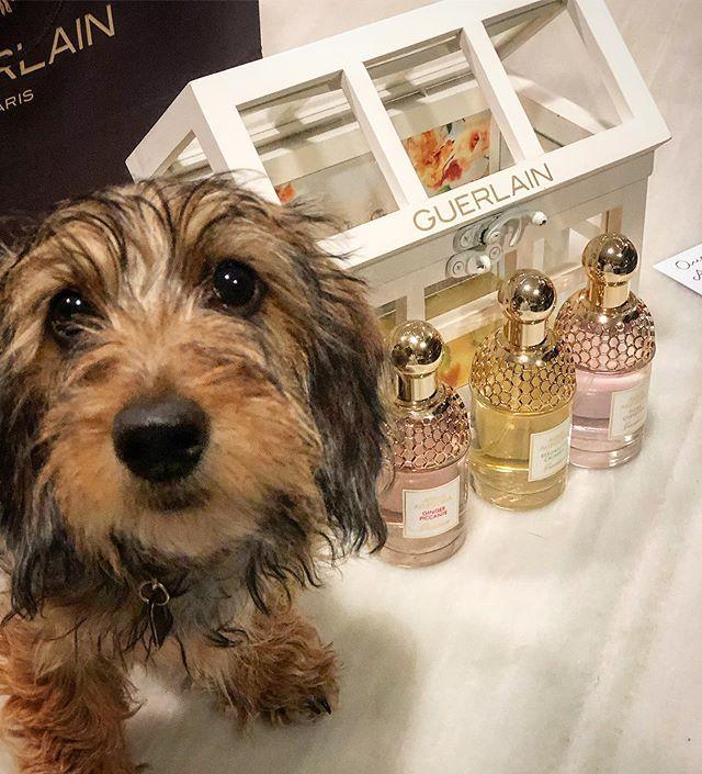 Aquí abriendo mis perfimes de @guerlain #aquaallegoria  #gerlainparfum y Candelita que no se separa de mi ni un segundo..... ni yo de ella..... por cierto no sabéis como huelen de bien estos perfumers ❤️❤️