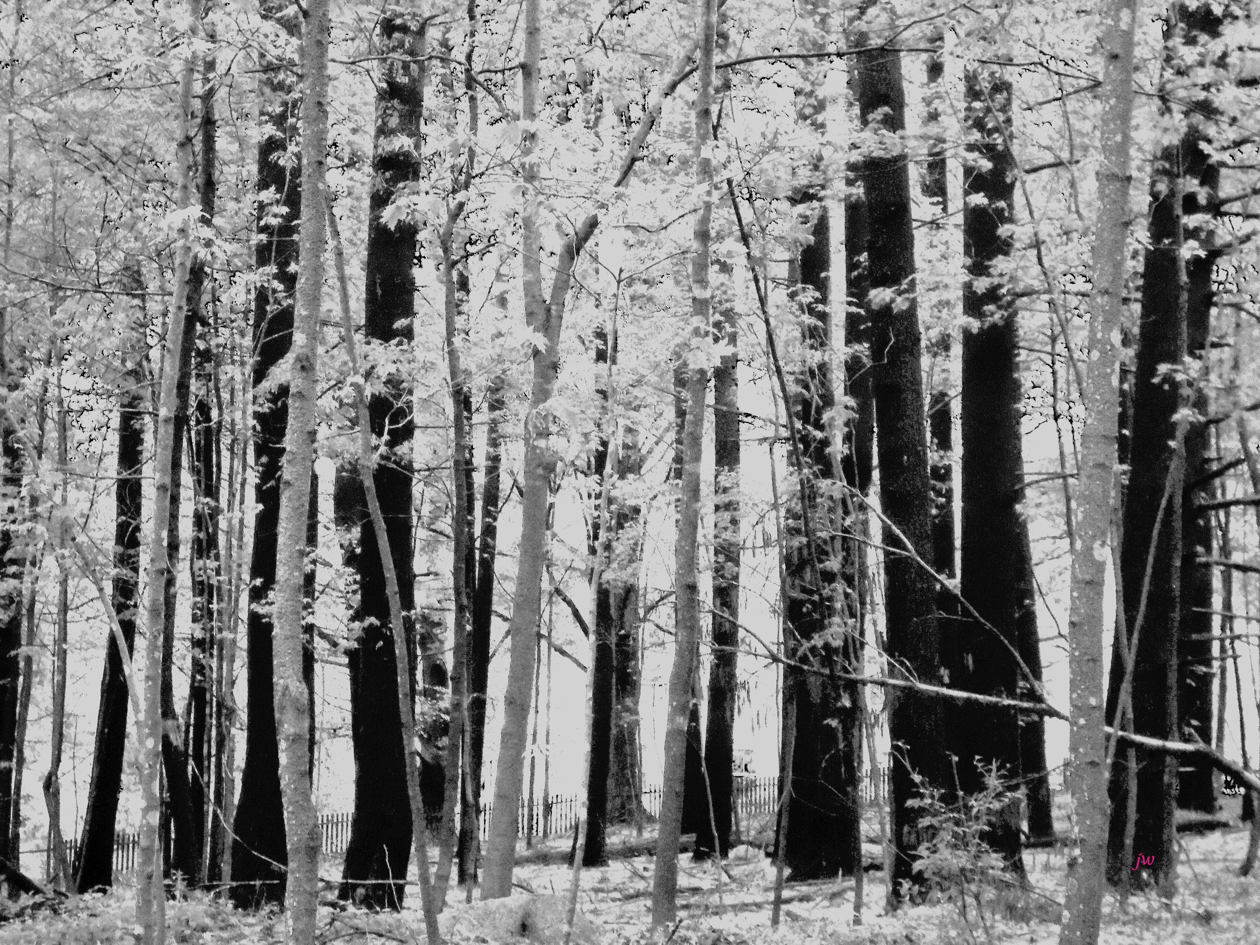 trees by the house4 b&w.jpg