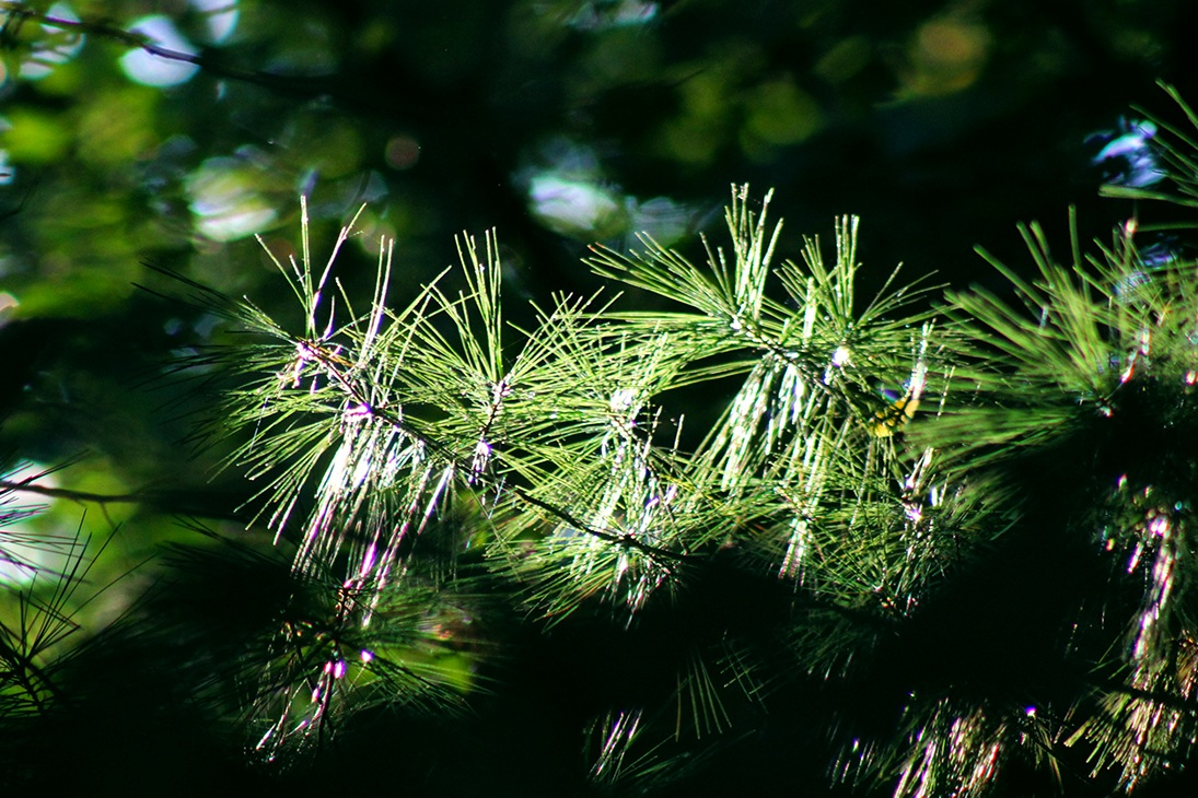 9-27-2017 pine.jpg