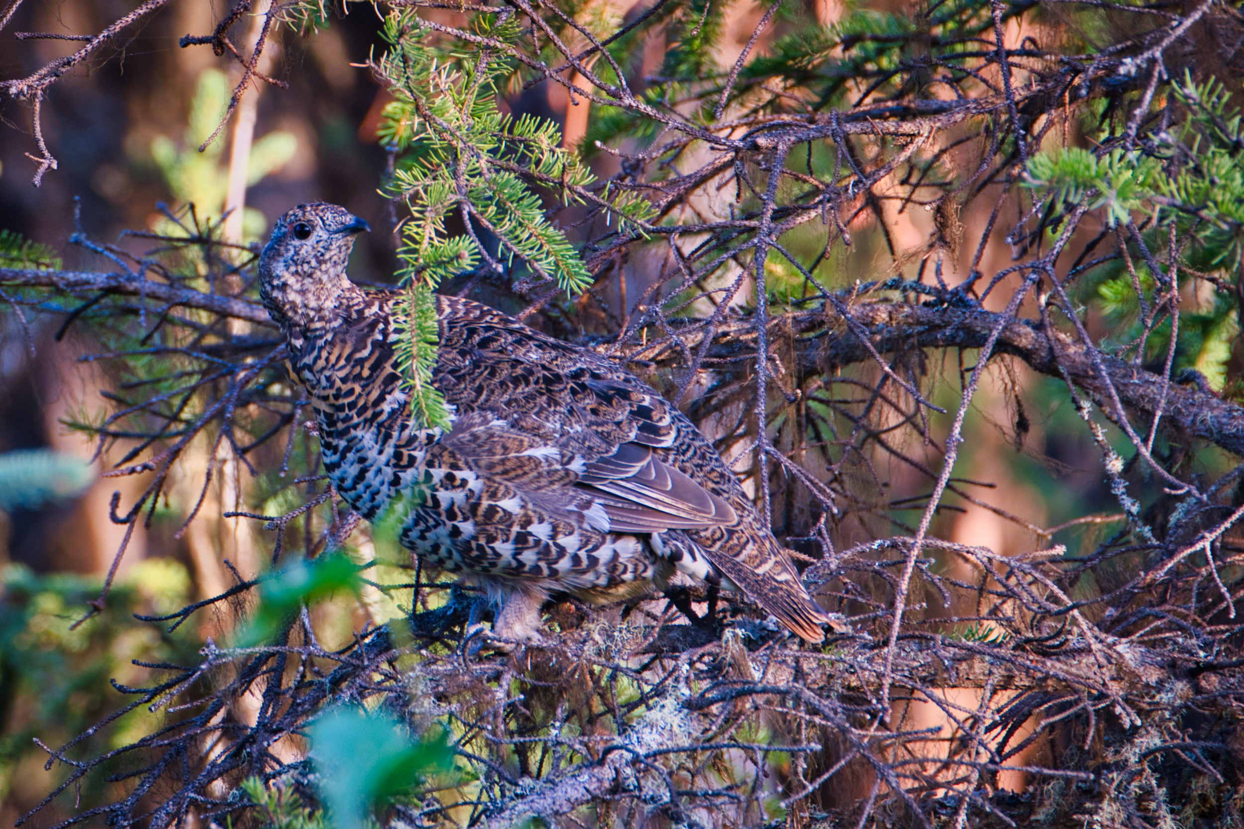 First Spruce Grouse