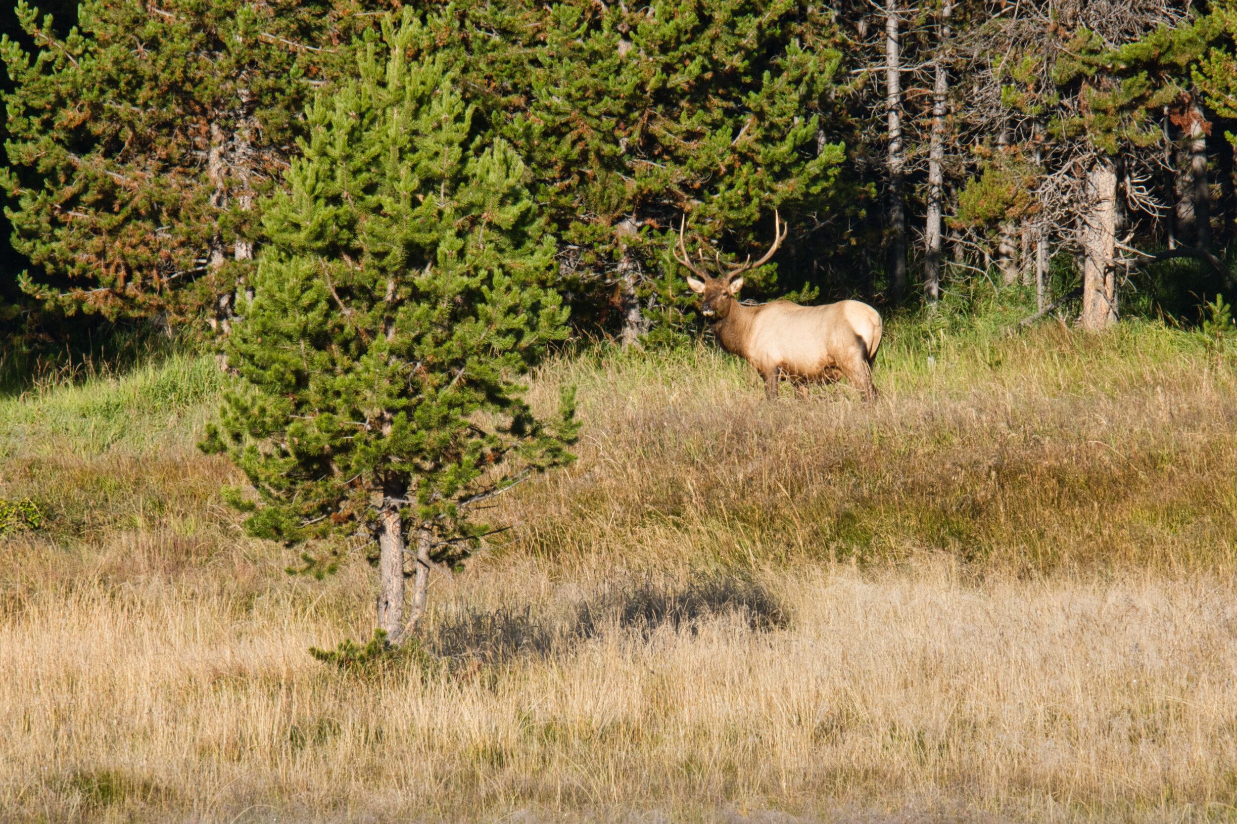 """We did see this elk in a place where only we were and isolated from the main road. Sometimes in the crowds you get a """"just for you"""" view."""