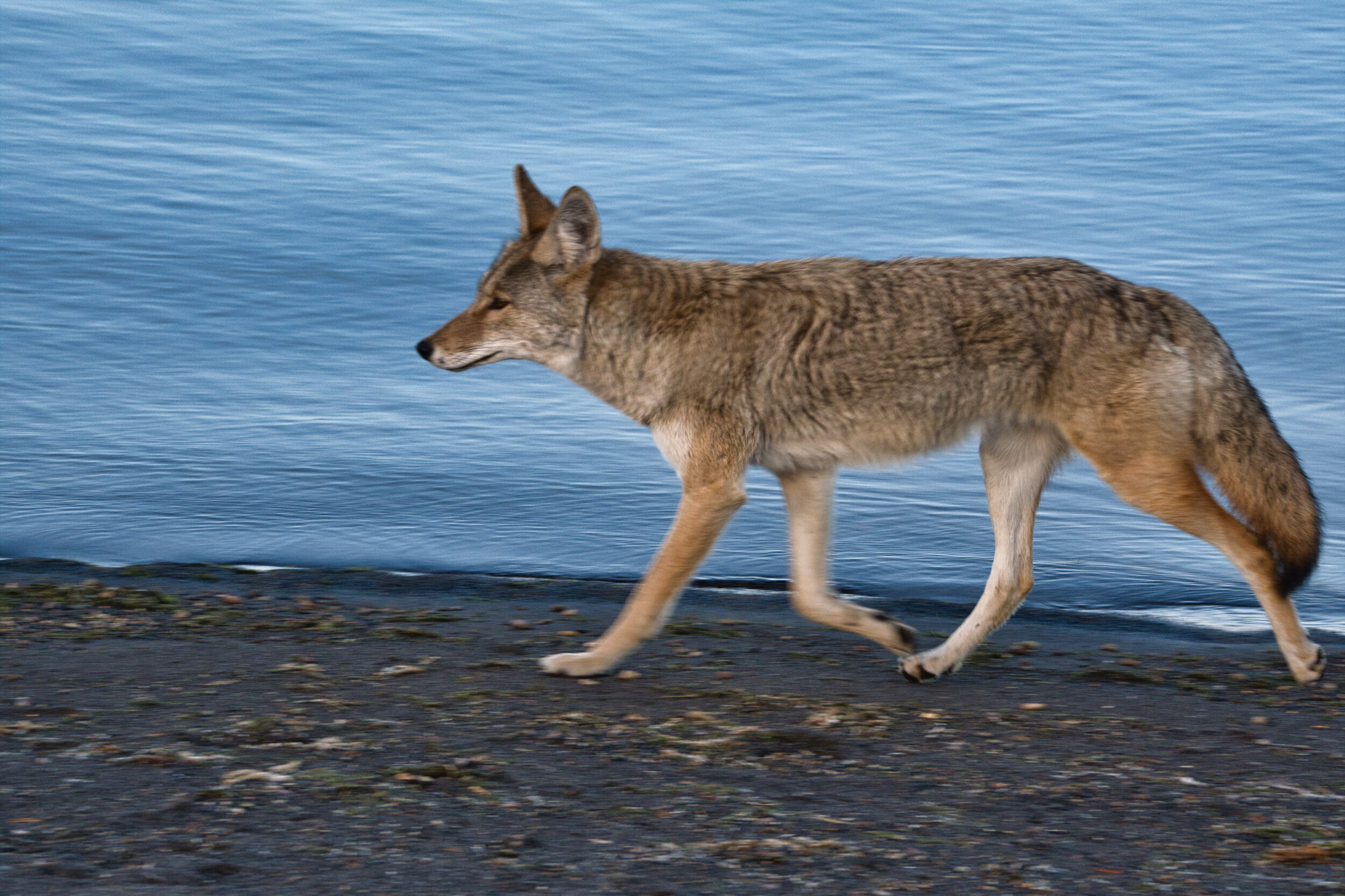 The coyote at Yellowstone along the Yellowstone Lake