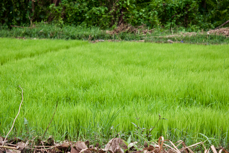 Rice Growing in Paddy