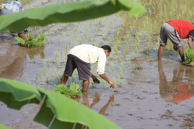 planting-rice-paddy-in-north-bali.JPG