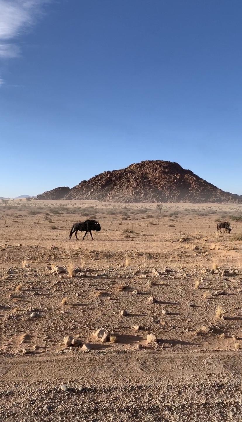 Wild wildebeest views.
