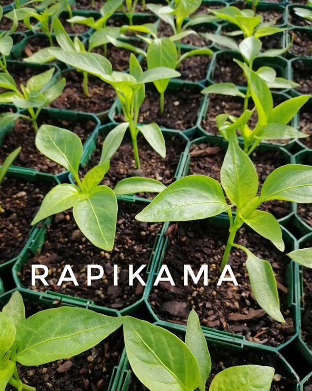 Rapikama - Capsicum