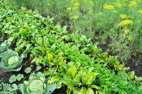 certified-organic-vegetable-garden.jpg