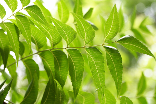 Neem leaves are native to India.