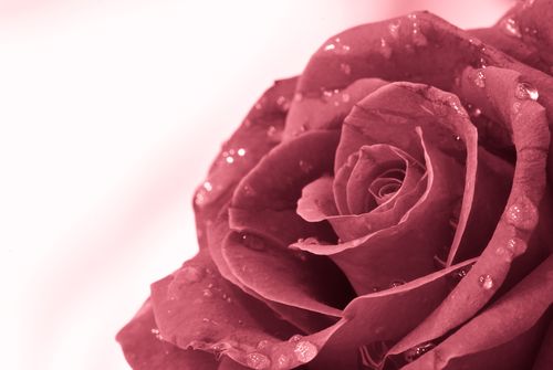Rose petals offer many benefits to the skin.