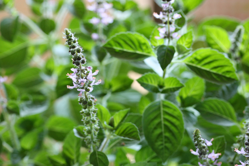 Tulsi leaf, like neem, is native to India and also has a wide range of benefits.