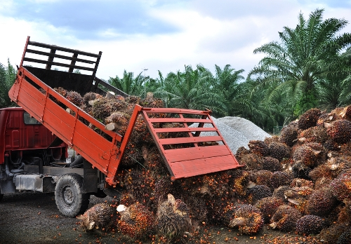 Palm fruit is harvested, ready to extract the oil.