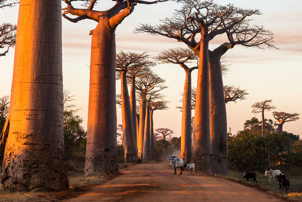 Our certified organic baobab oil is extracted from the seeds of a species that grows in Africa.