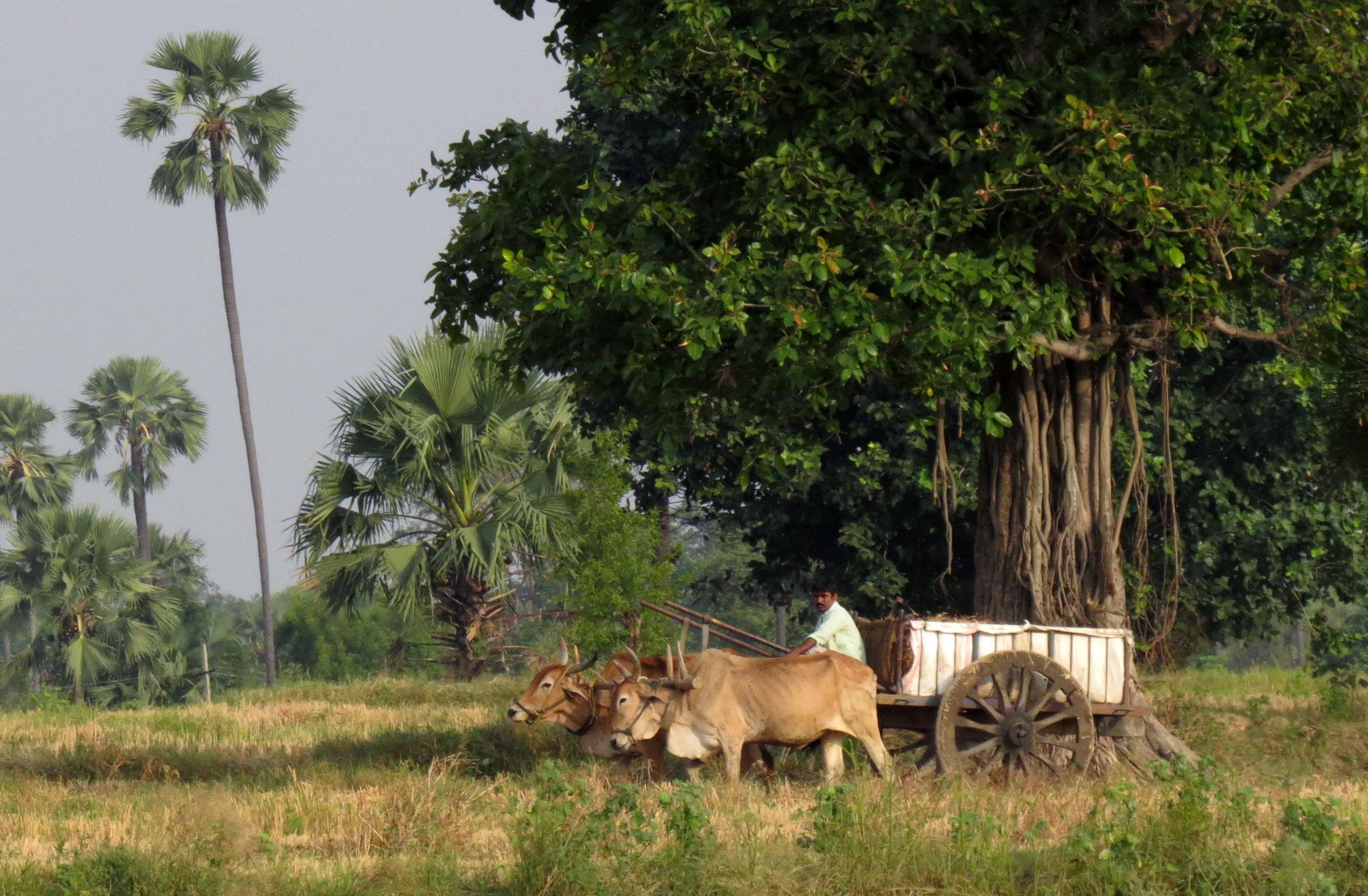 Telangana farmer drives bullock cart to fertilise fields