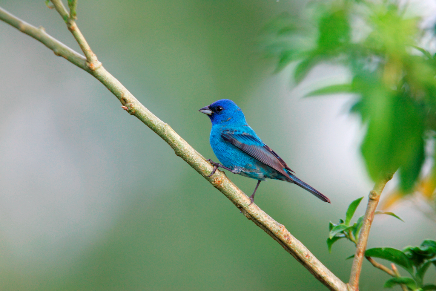 Indigo Bunting Male preched LV8V5883.png
