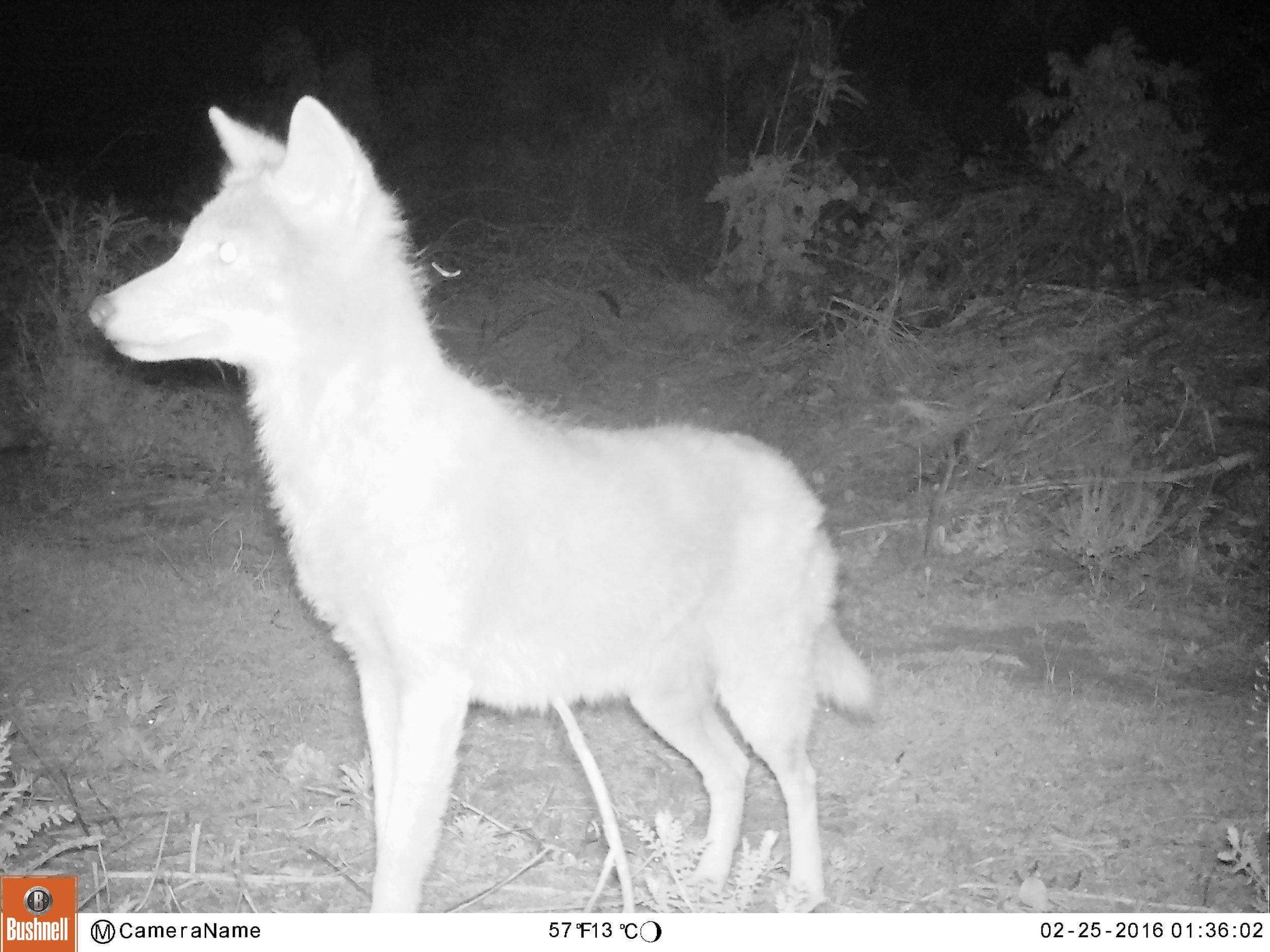coyote87_db.JPG