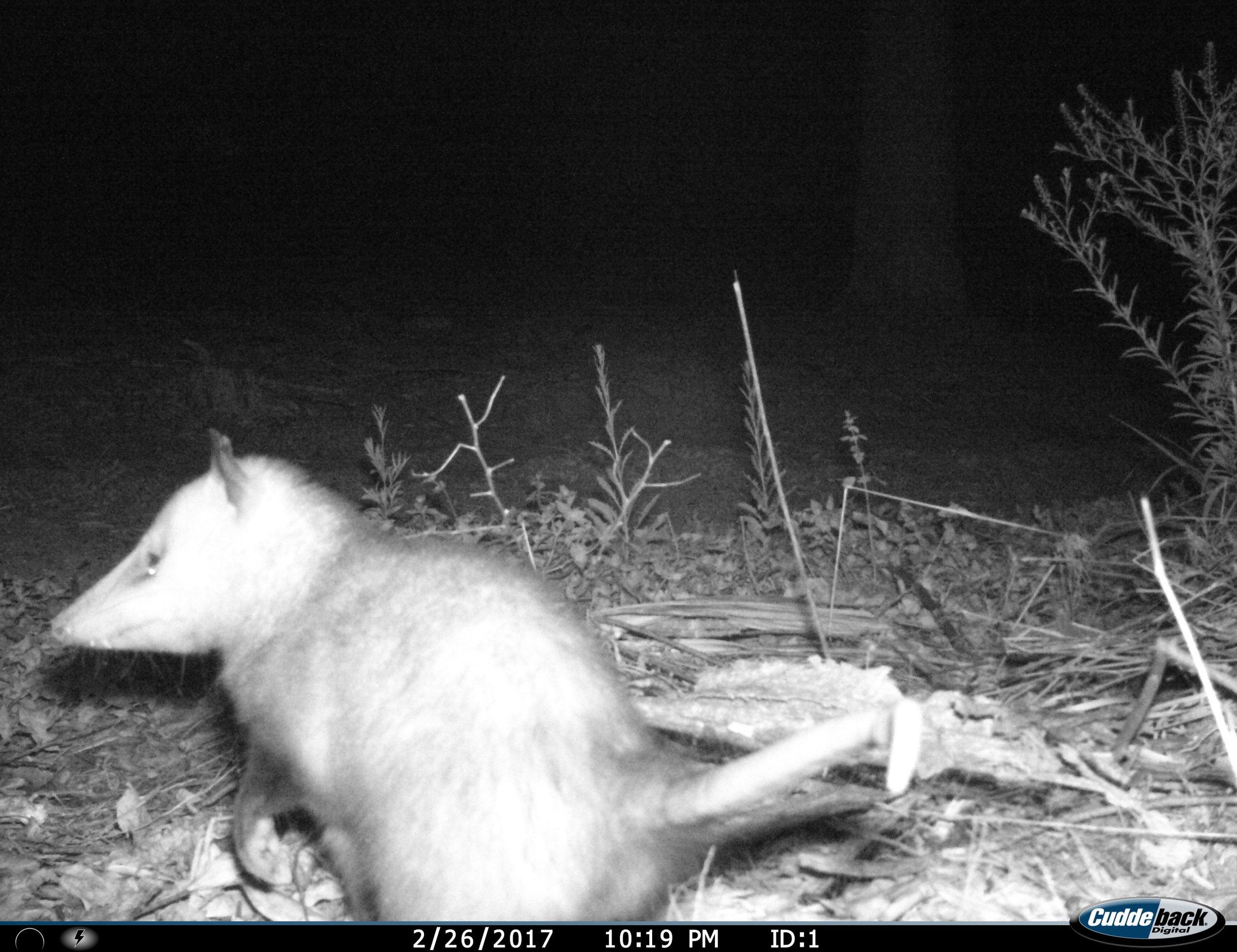 opossumredtraildb3.jpg