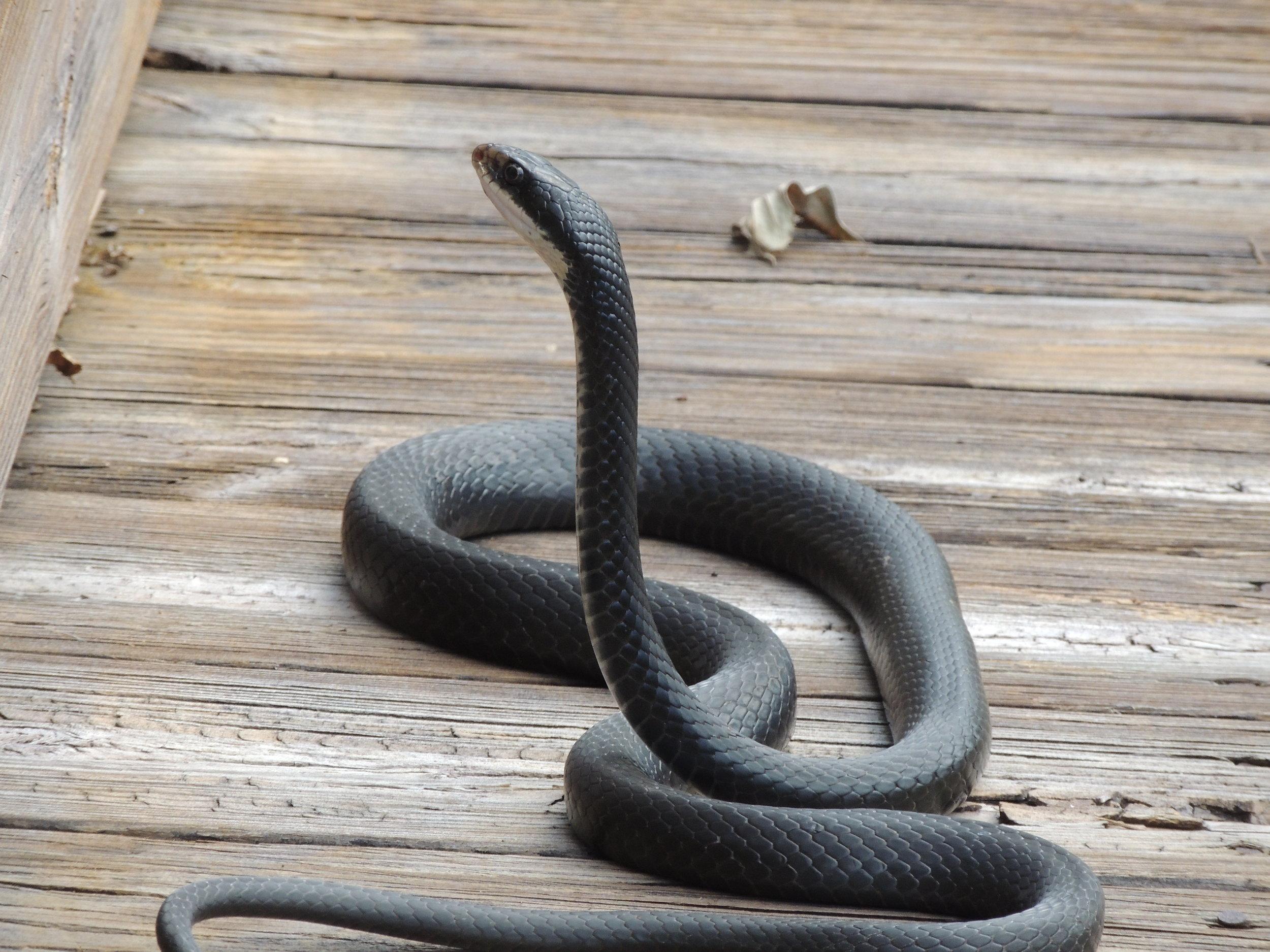 Black Racer Snake, Coluber constrictor priapus, on the boardwalk