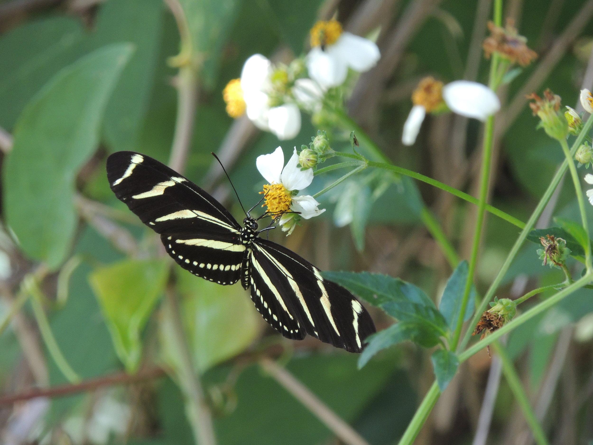 Zebra Longwing Butterfly,  Heliconius charithonia   ,   on Spanish Needles