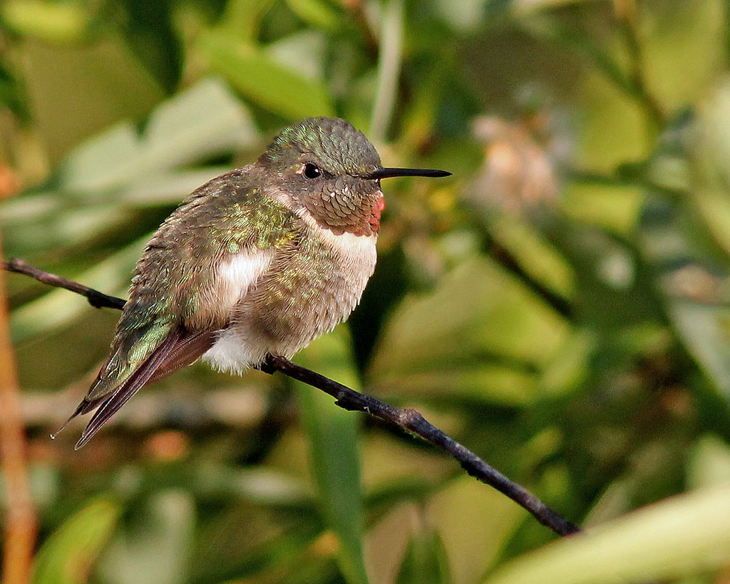 Bird and Butterfly Friendly Plants for Central Florida, provided by Orange Audobon Society                                          Photo of a Ruby Throated Hummingbird by Mary Keim