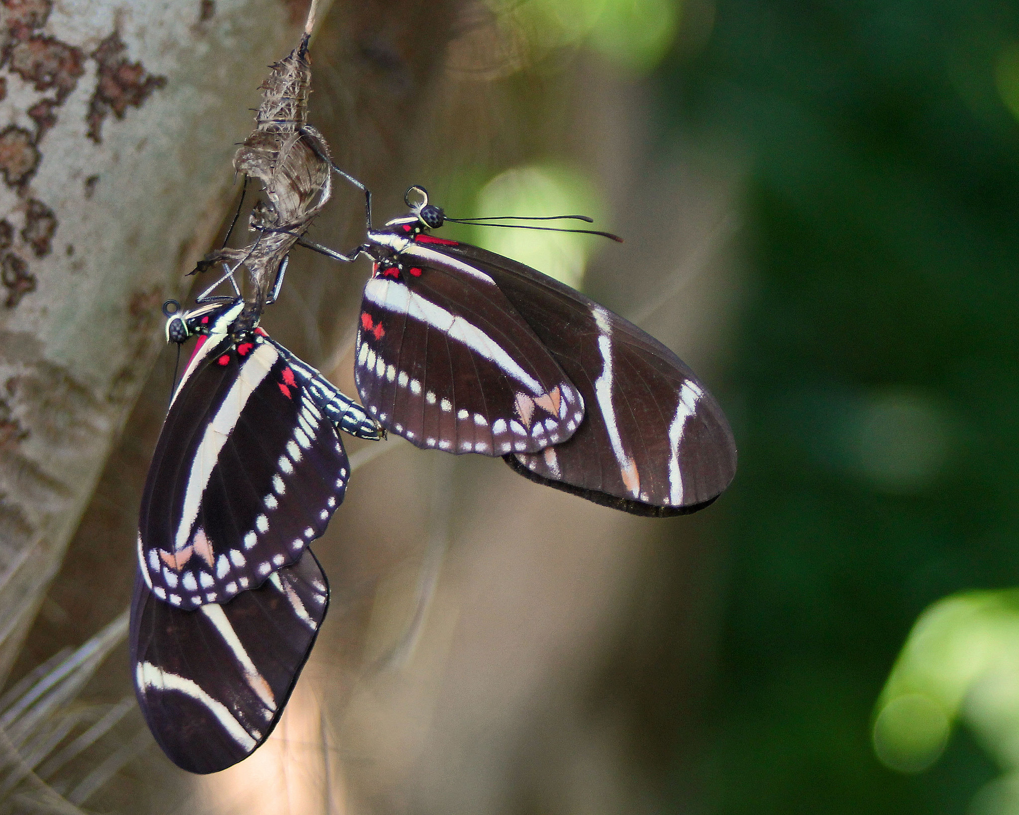 More on Butterfly Garden in Florida, IFAS         Zebra Heliconian by Mary Keim