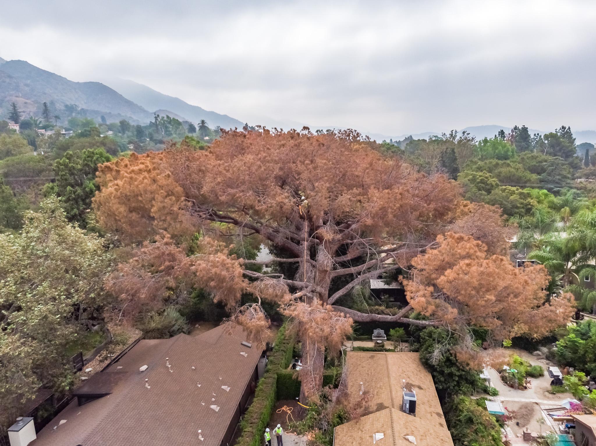 Mariposa Tree Removal Aerial 1-1.jpg