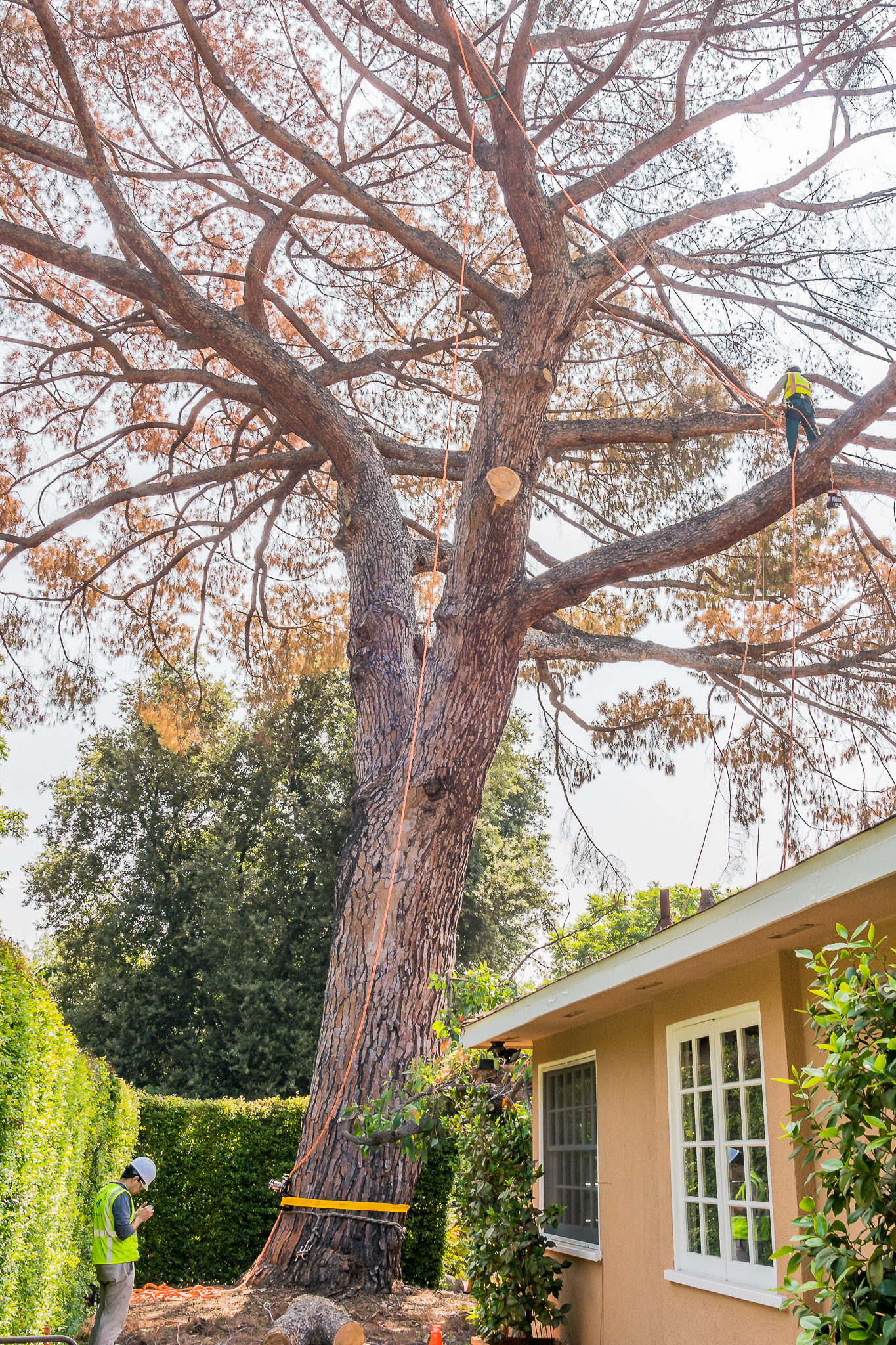 Mariposa Tree Removal Ground-76.jpg