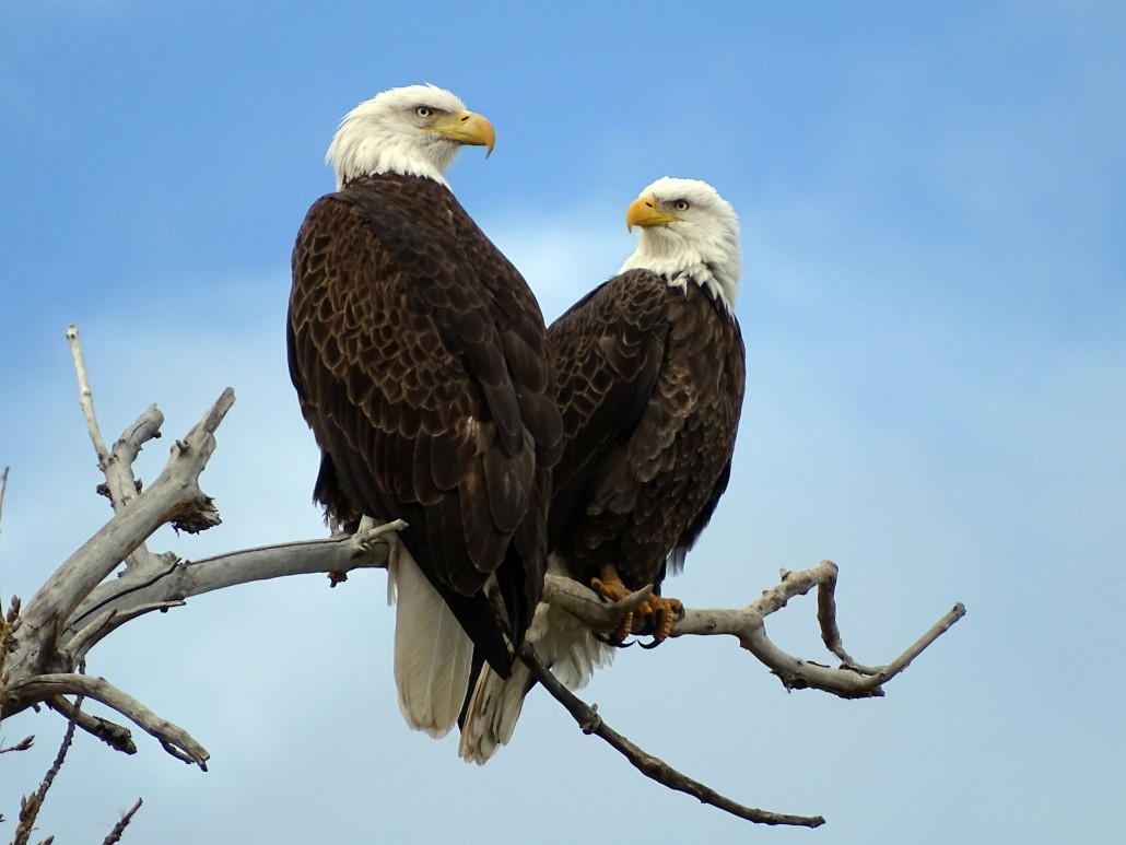 Eagles, a symbol of enduring strength, freedom and love. Photo: Anne Whitehurst