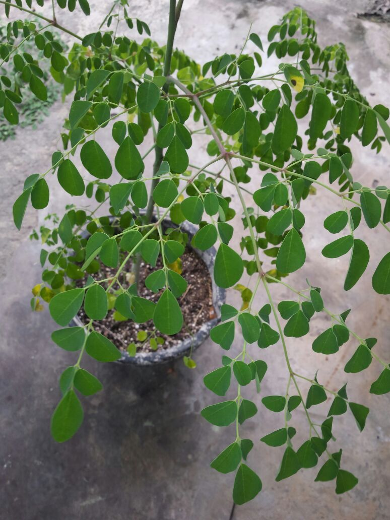 Apparently my bro is getting in on the health benefits as well, and has planted his own tree..So here's our baby Moringa!