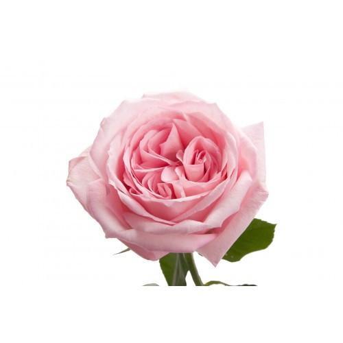 O'Hara Rose - Garden Inspired Wedding Flowers Winnipeg
