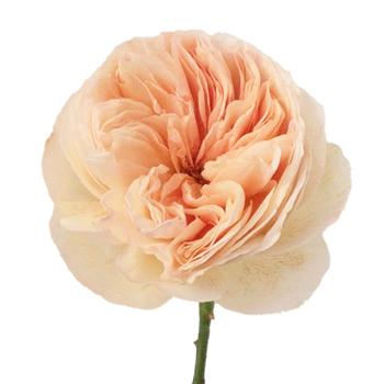Juliet Garden Rose - High End Wedding Flowers Winnipeg