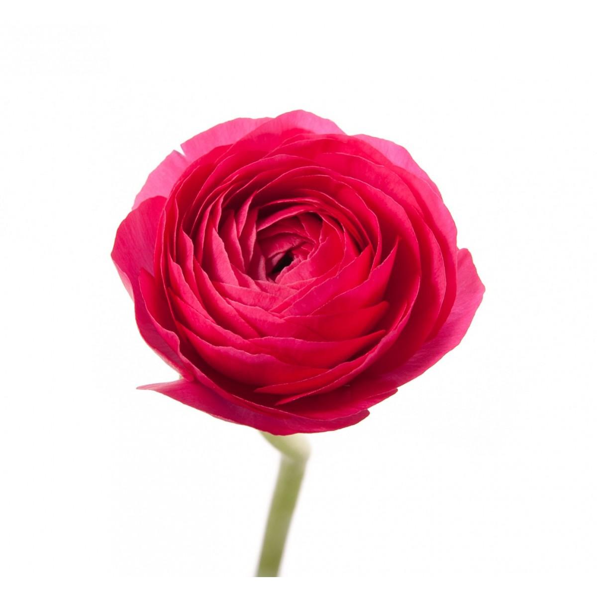 Ranunculus - Wedding Flower Ideas