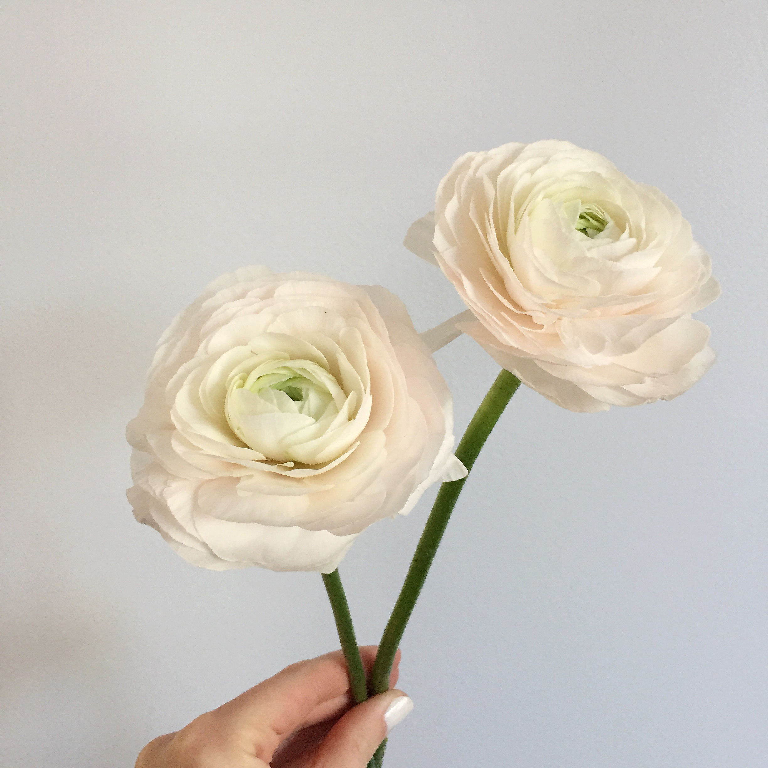 Blush Ranunculus - 2018 Wedding Trends