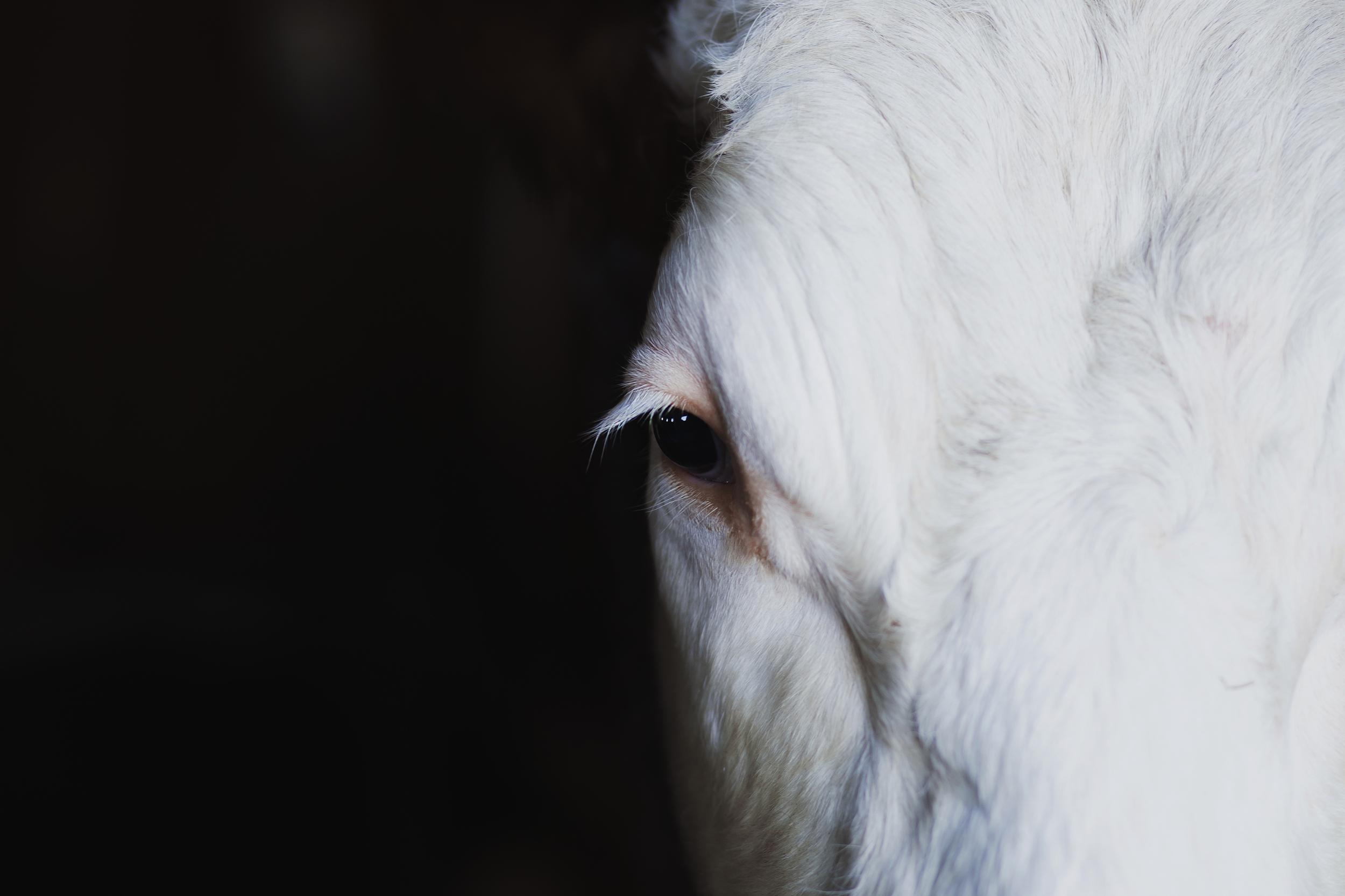 cow_eye_color.jpg