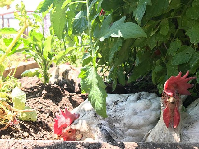 Guess who snuck into the tomato garden bed for a nice dust bath?