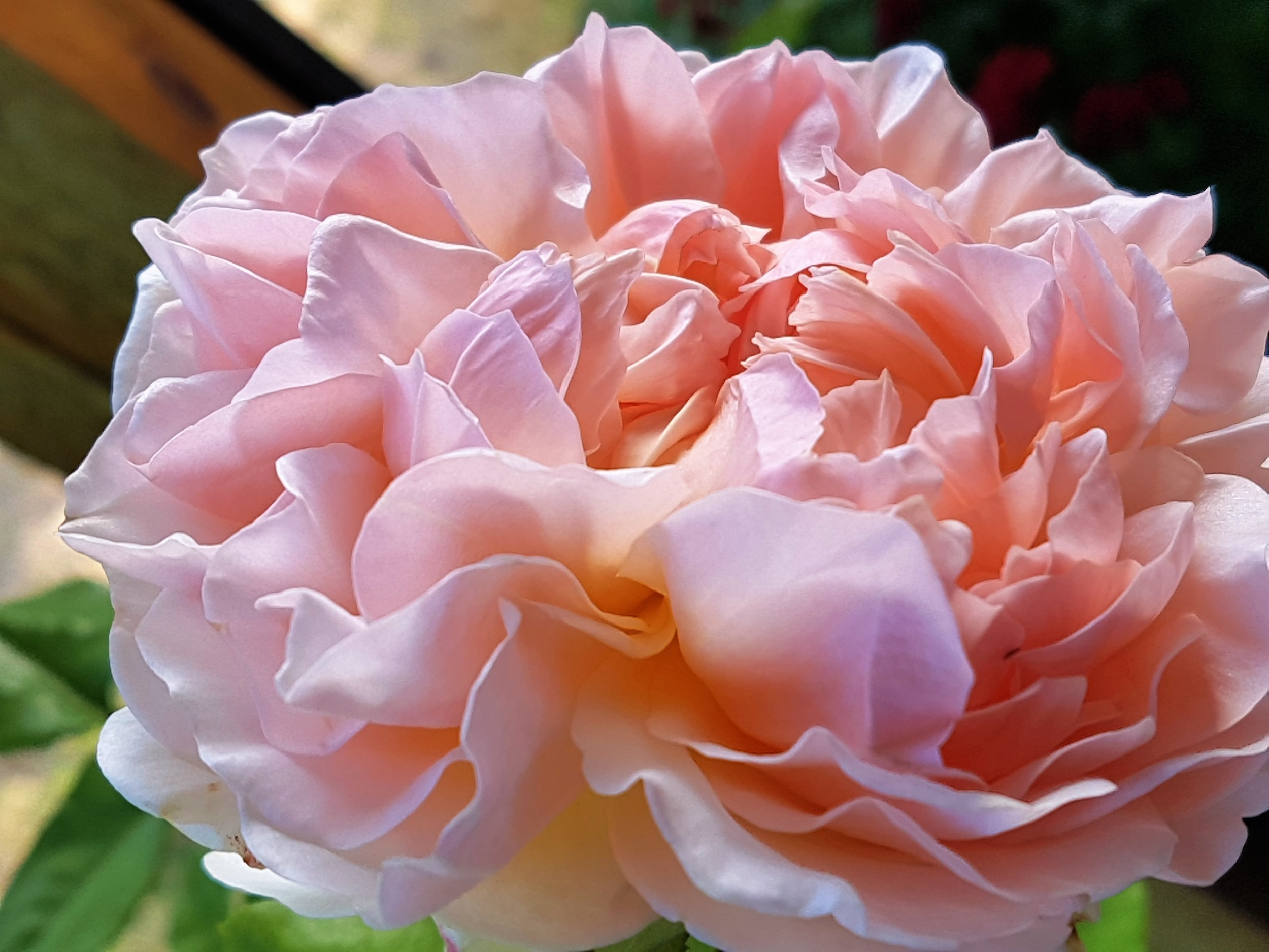 The amazing English rose, Evelyn, developed for Crabtree and Evelyn by David Austin.