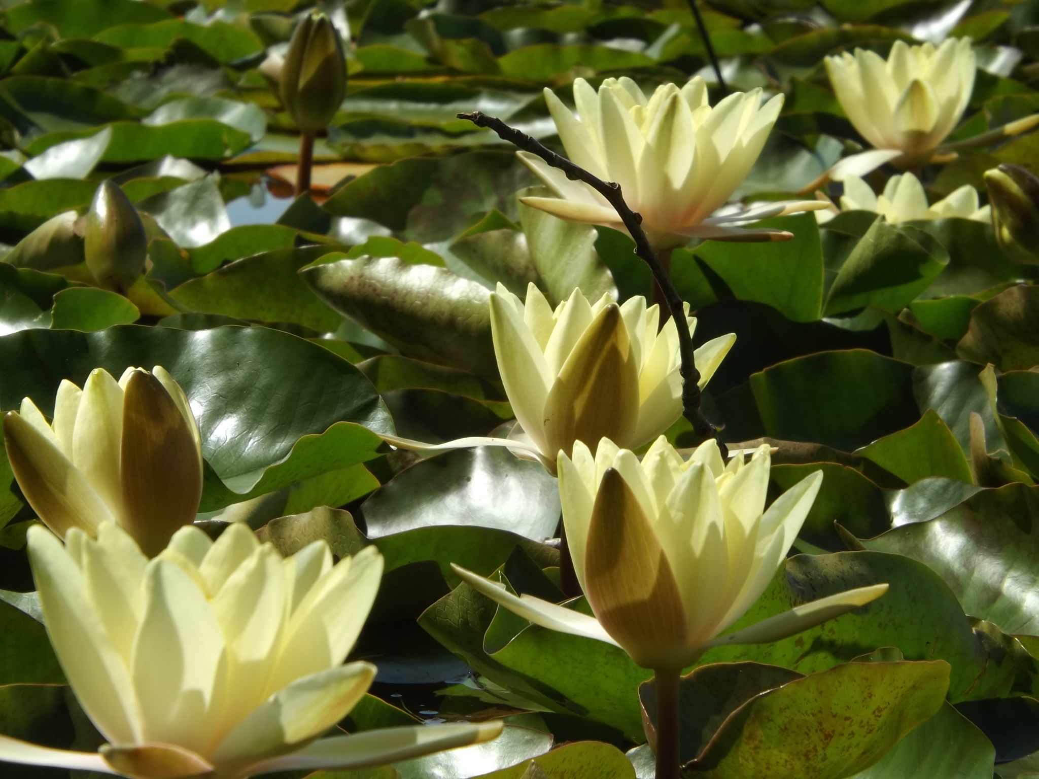 A flotilla of water lilies.