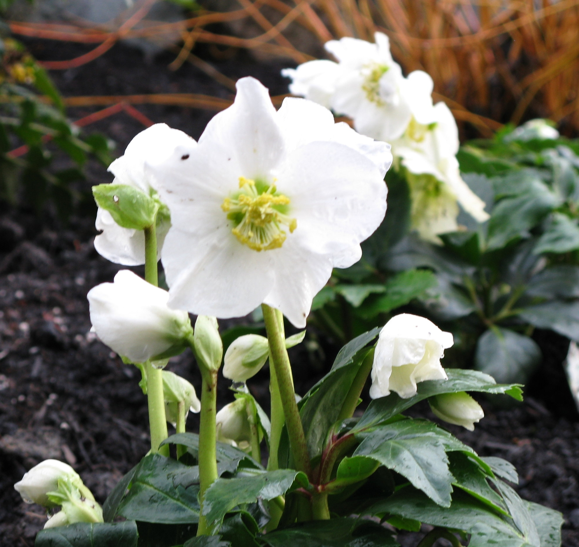 The pure white flowers of H. niger, called the Christmas rose for its early blooming habit, are a welcome sight in winter.
