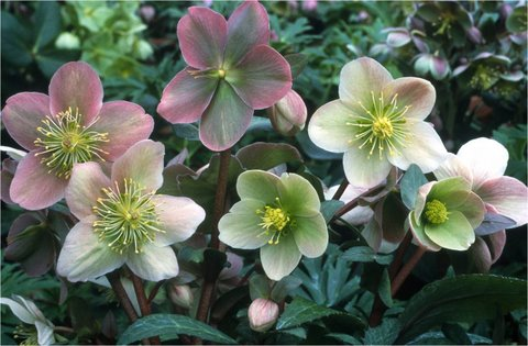 more beautiful hellebores